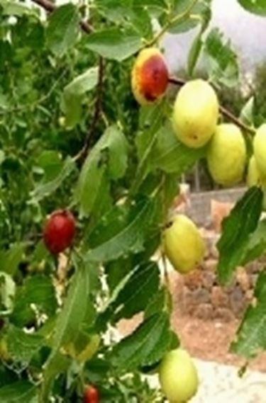 Pante da frutto