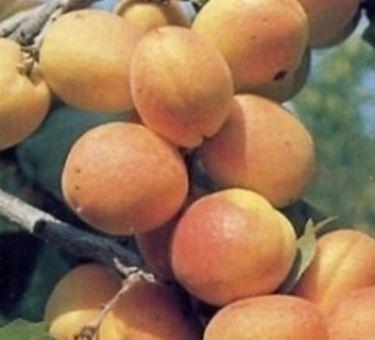 Potatura alberi da frutto domande e risposte orto e frutta for Potatura alberi da frutto