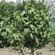 albero fico