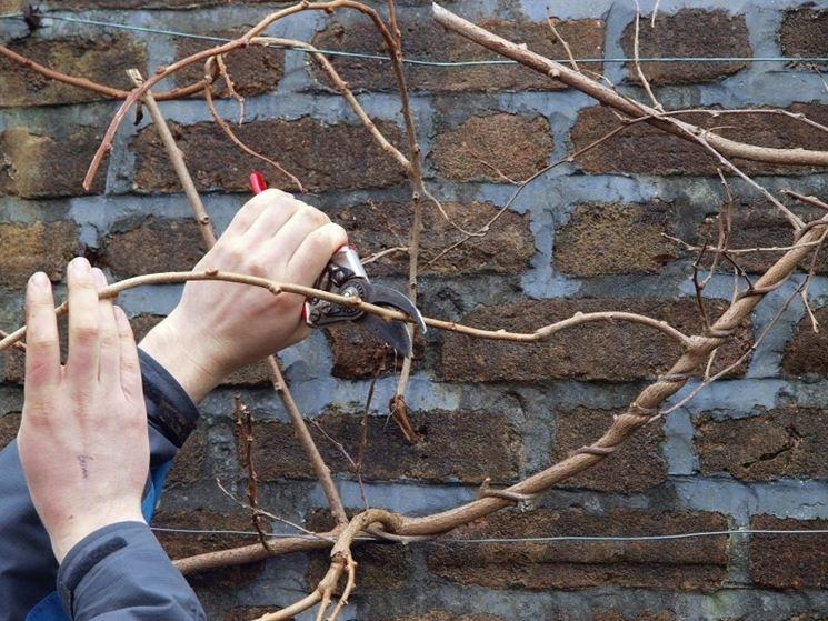 Potatura kiwi corretta domande e risposte giardinaggio for Piante da frutto kiwi