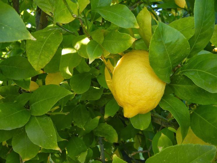 Potatura limone domande e risposte orto e frutta for Malattie del limone