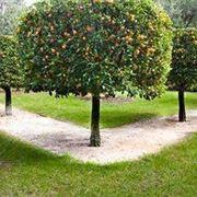 Potatura limone domande e risposte orto e frutta for Albero limoni in vaso