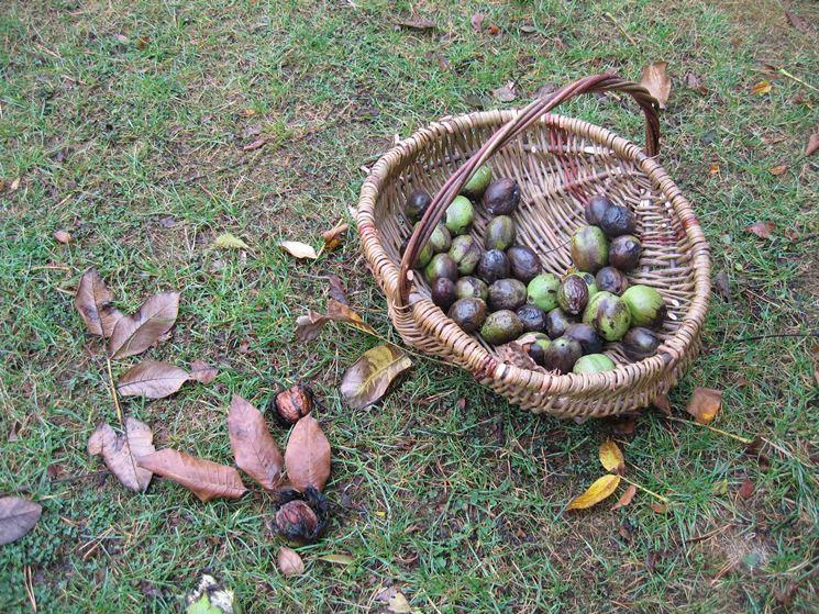 Raccogliere le noci domande e risposte orto e frutta for Raccogliere castagne