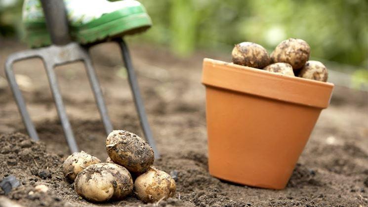 Raccolta estiva delle patate