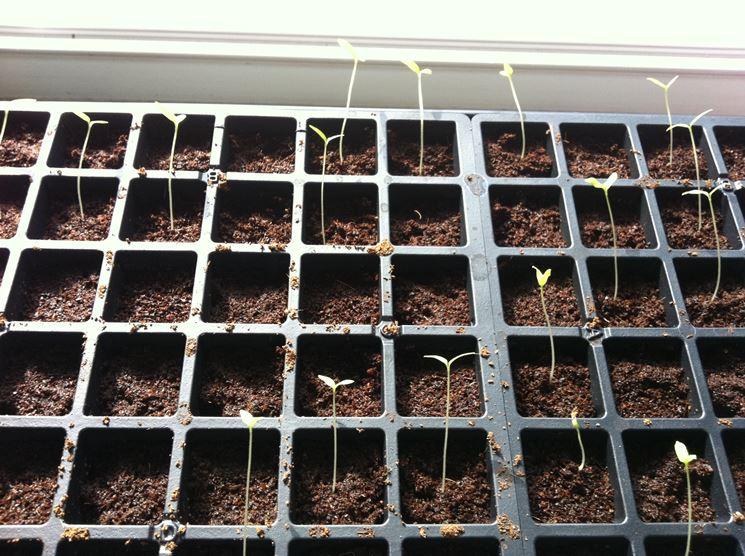 Semina dei pomodori in semenzaio
