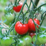seminare pomodori