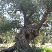 malattie ulivo foglie secche