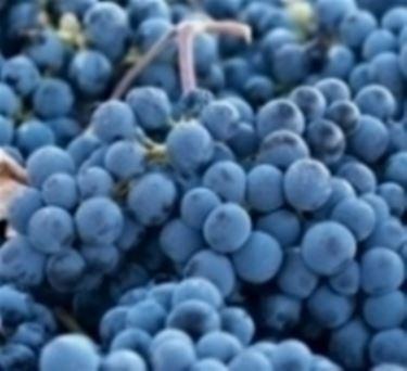 Vite senza uva domande e risposte orto e frutta - Potatura vite uva da tavola ...