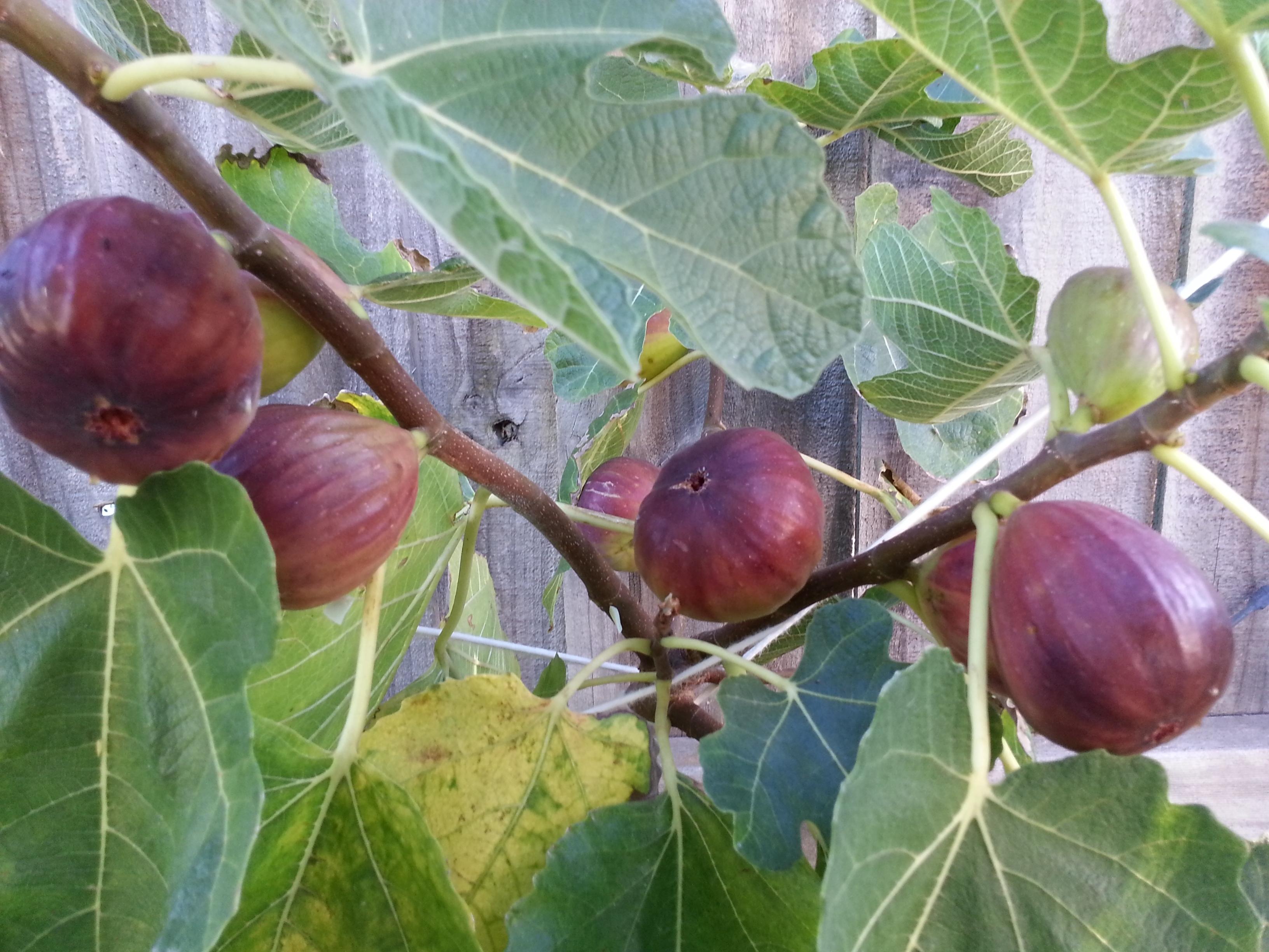 Alberi da frutto frutteto for Alberi da frutto