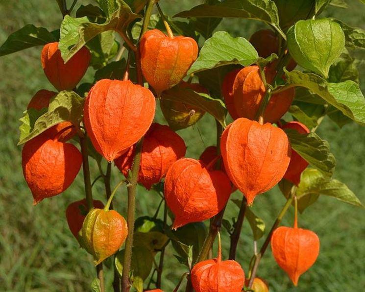 Alkekingi frutti fiori