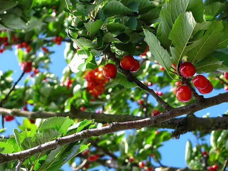 Pianta frutti