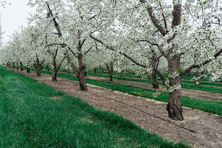 Il ciliegio acido cresce su qualsiasi terreno
