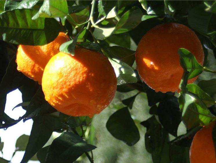 pianta arance