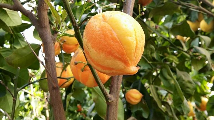 Arancio variegato