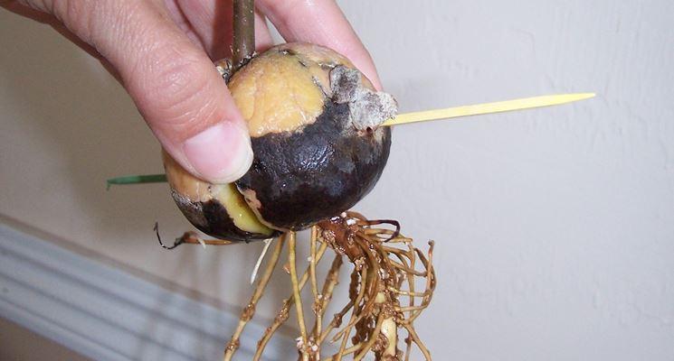 Piantine di avocado