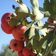 Frutti azzeruolo