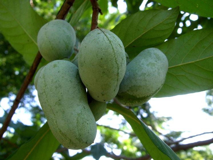 Frutti banane montagna