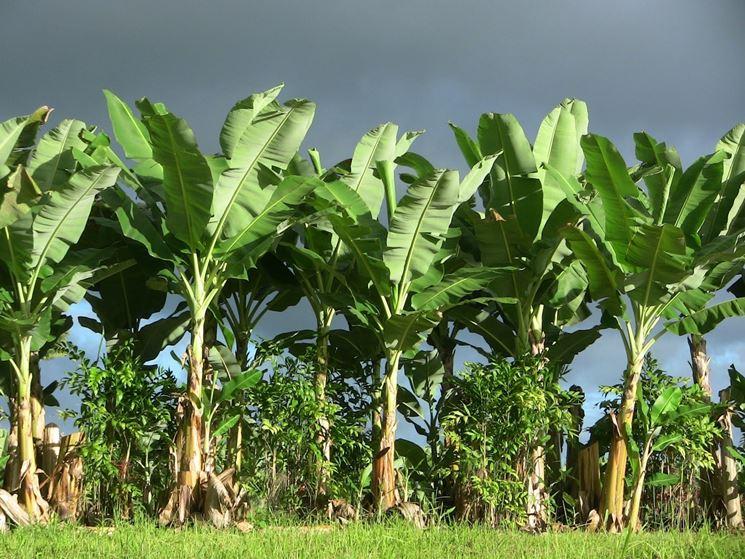 Coltivazione pianta banane