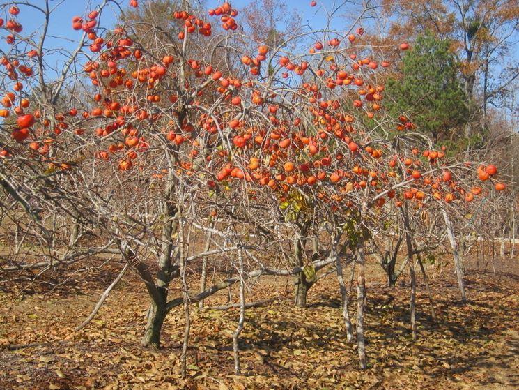 Piantagione cachi mela