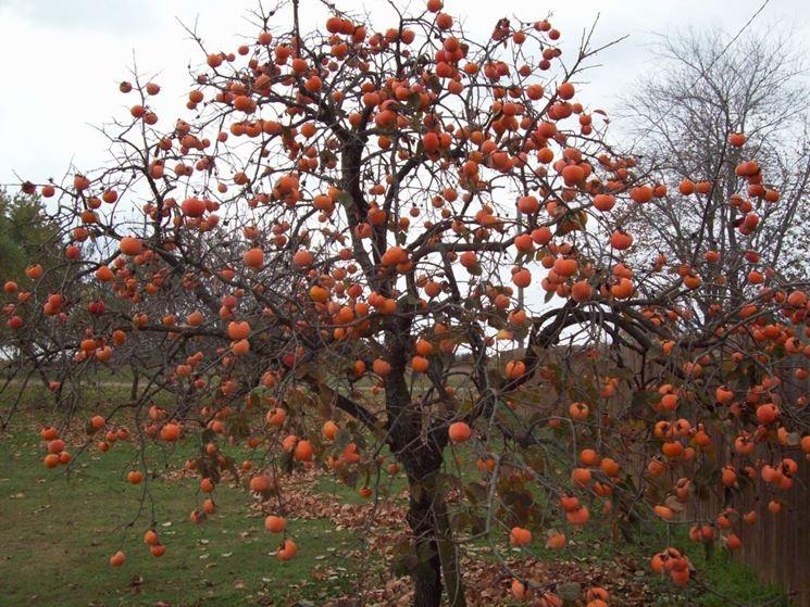 Albero caco mela
