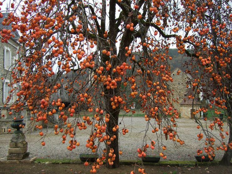 Kaki frutto