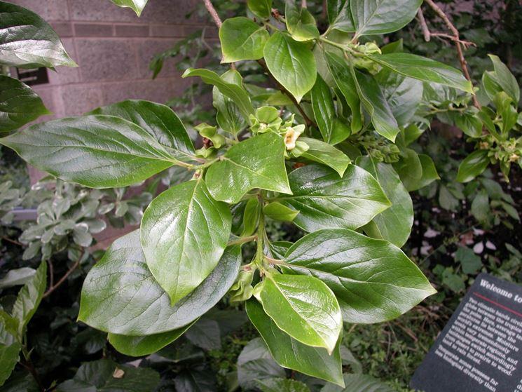 pianta cacomela