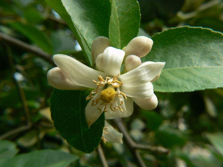 Fiore cedro