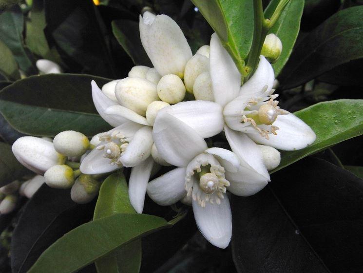 Fiori pianta chinotto