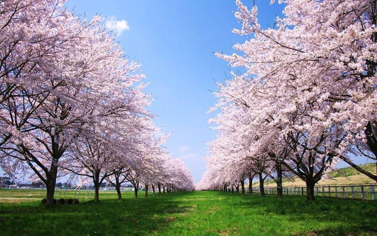ciliegio giapponese frutteto coltivare ciliegio