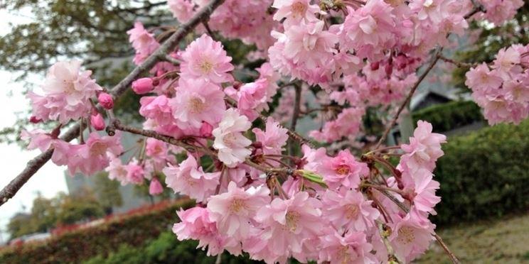 Fiori ciliegio giapponese
