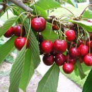 Frutti ciliegio