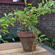 pianta di goji