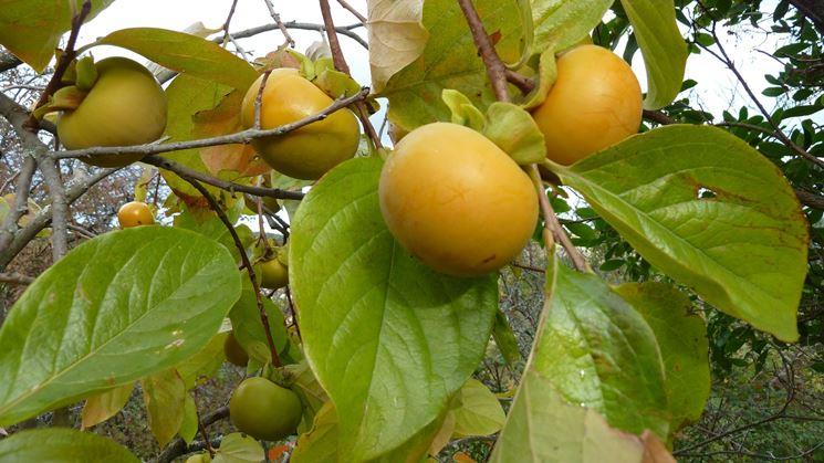 Frutti cachi albero