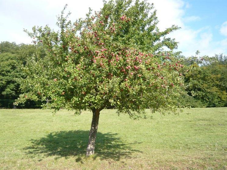 Piante Di Melo : Coltivare una pianta da frutto frutteto come