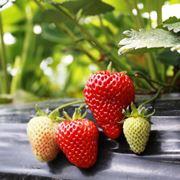 coltivare fragole in vaso