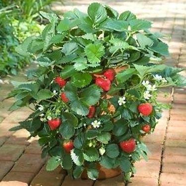 Coltivazione fragole frutteto for Fragole in vaso