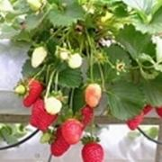 pianta fragole