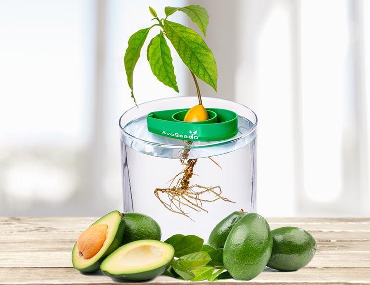 seme avocado