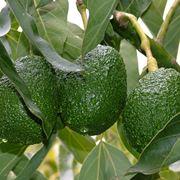 seme di avocado