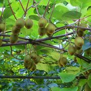 Serie di piante di kiwi