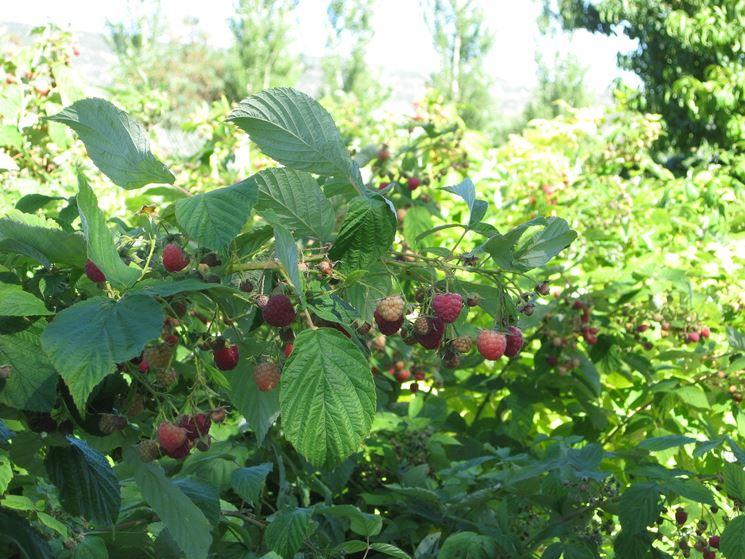 Come coltivare i lamponi: clima, concimazione e malattie ...