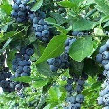 Coltivazione mirtilli for Coltivazione goji in vaso
