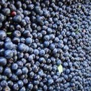 mirtillo nero coltivazione
