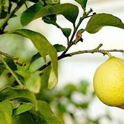 Potatura limone primavera