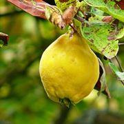 Fiore di melo cotogno