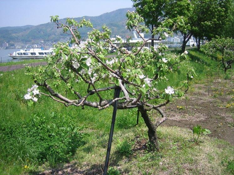 Albero di melo cotogno