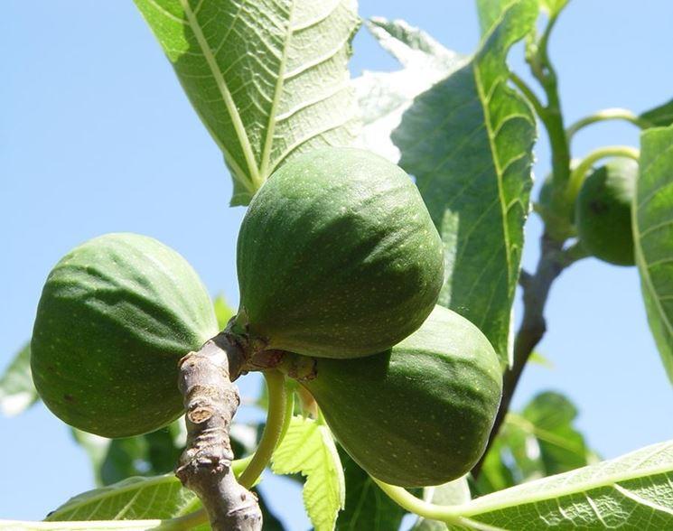 Fichi frutti