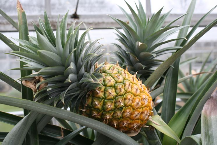 Il gambo d'ananas