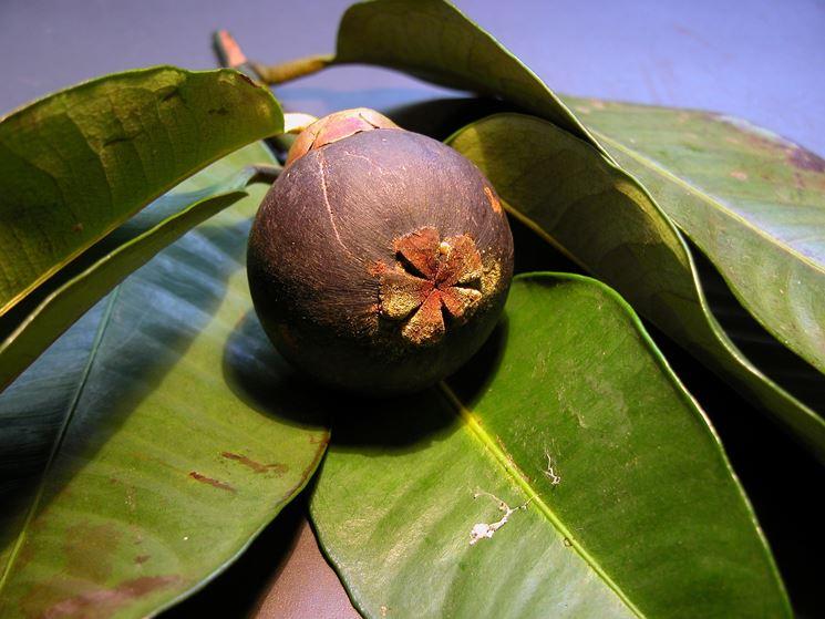 Frutti  Garcinia Mangostana