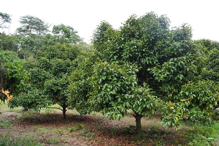 Fiore Garcinia Mangostana